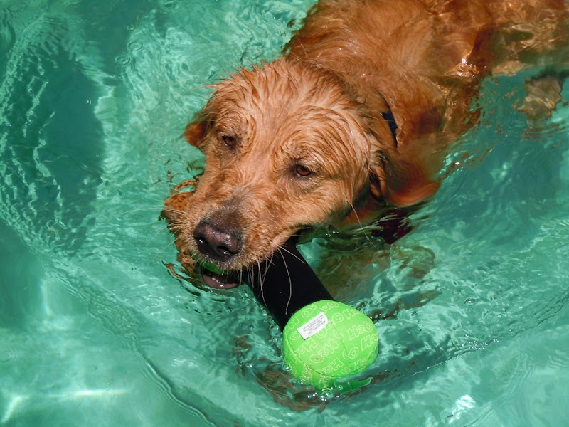 Retriever Jackson swimming