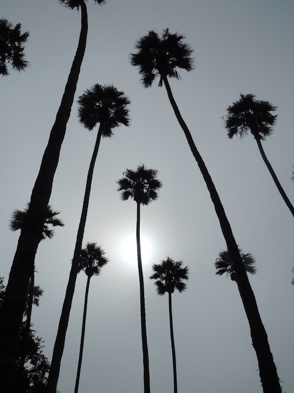 Foggy Santa Monica palms
