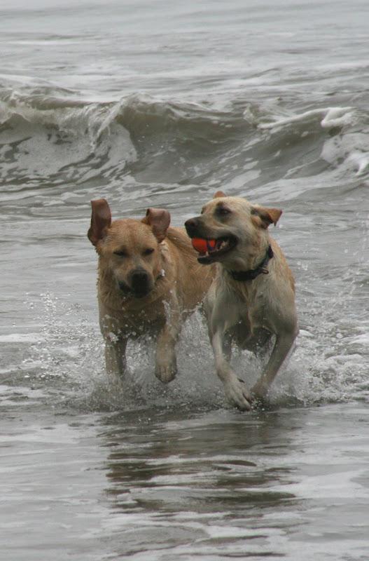 Hendry's Beach surf Labradors