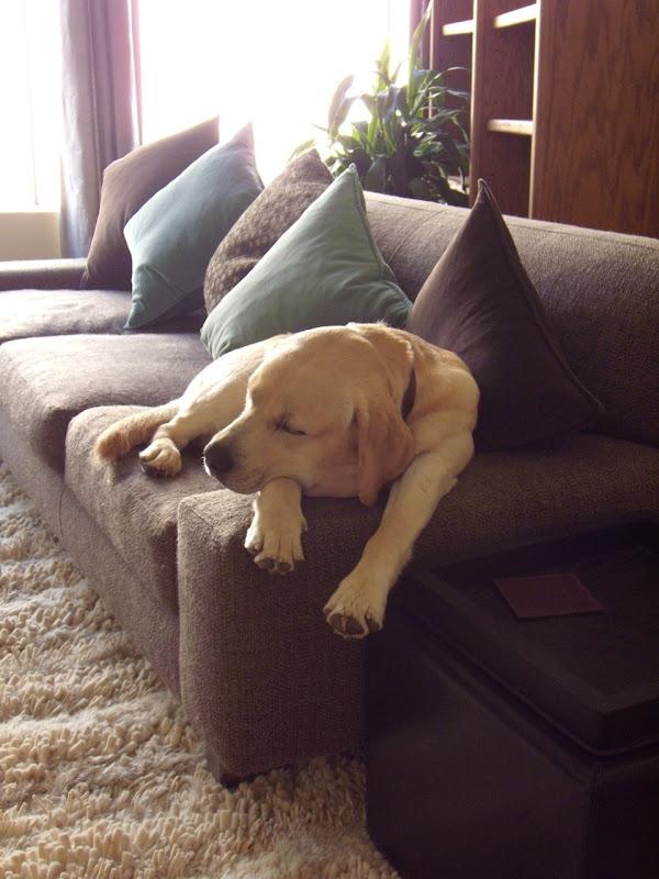 Dozing Labrador pup Mar 09