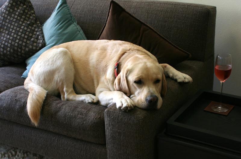 Sleepy Labrador Cooper Jun 10