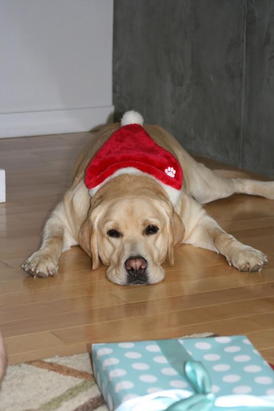 Sleepy Christmas Labrador