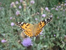 Dikende Kelebek