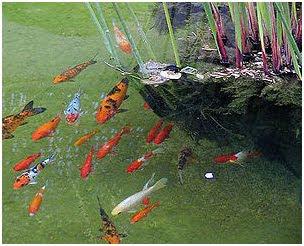 Ikan Tengiri Budidaya Informasi Budidaya