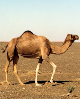 Chameau Dubai