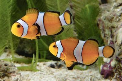 Aquarium lore clownfish for Clown fish scientific name