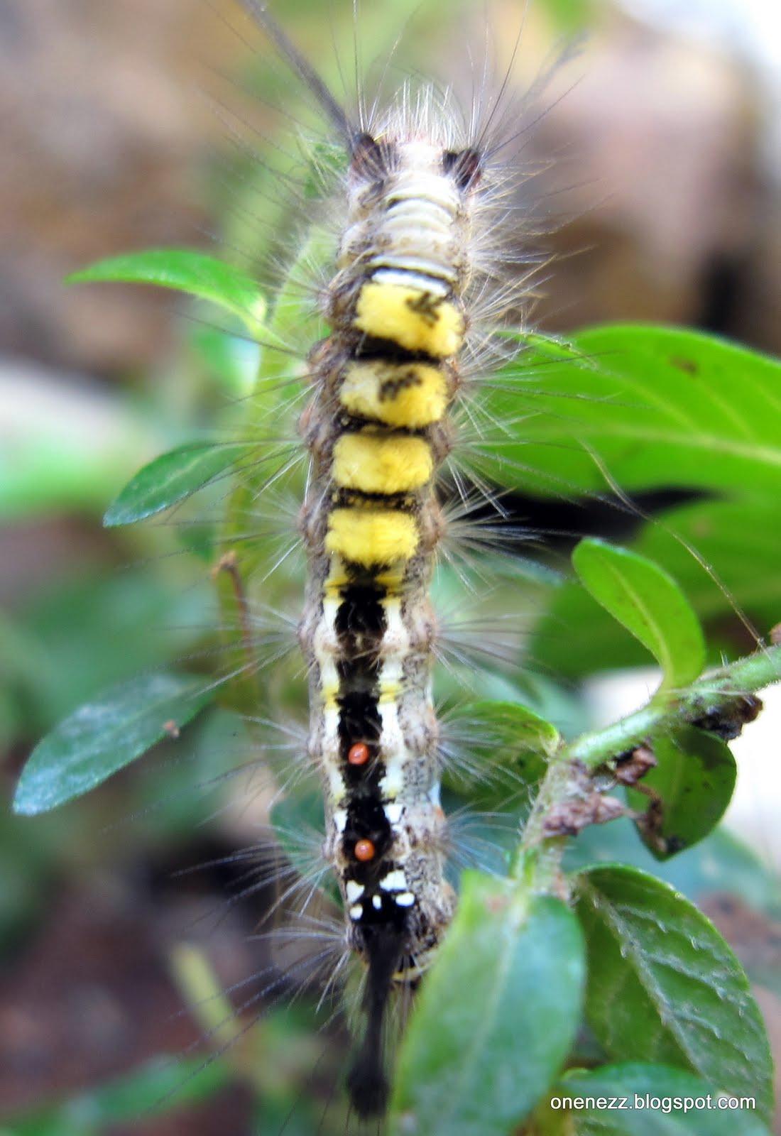 Onenezz  Caterpillars Everywhere