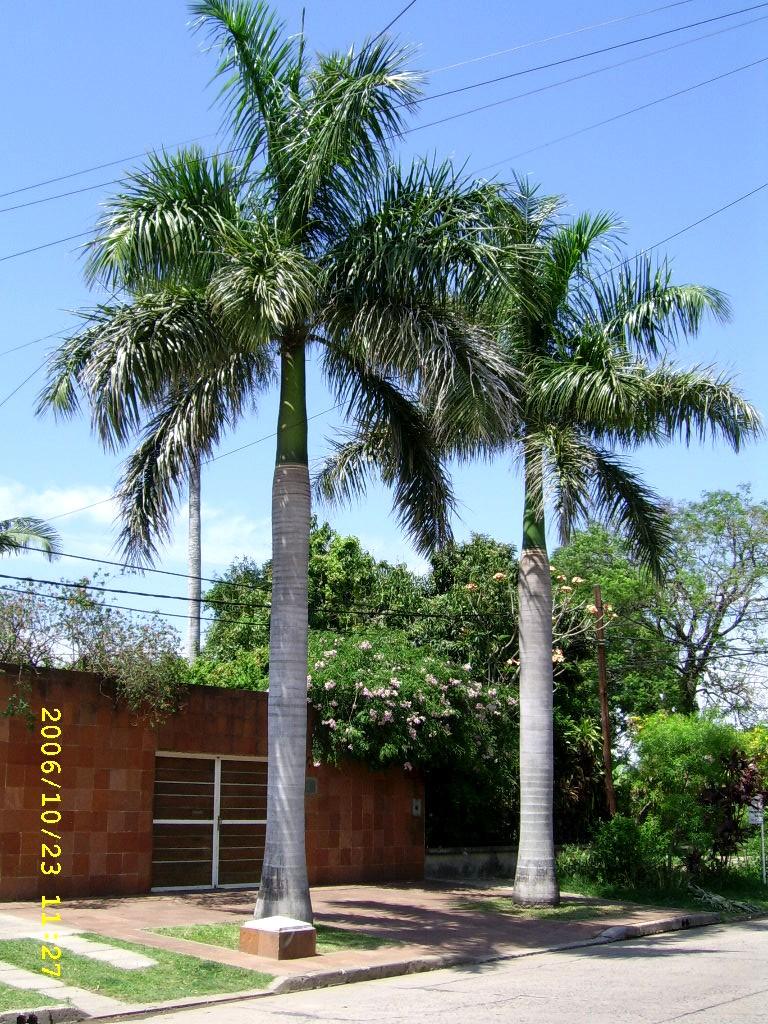 Palmeras - Plantas ornamentales por excelencia.