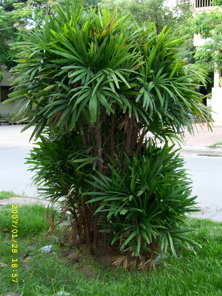 Palmeras  Plantas ornamentales por excelencia  Taringa!