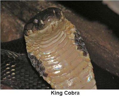 The King Cobra (Ophiophagus hannah) is the world's longest venomous snake