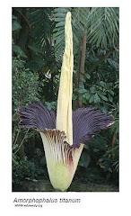 Bunga Kibut