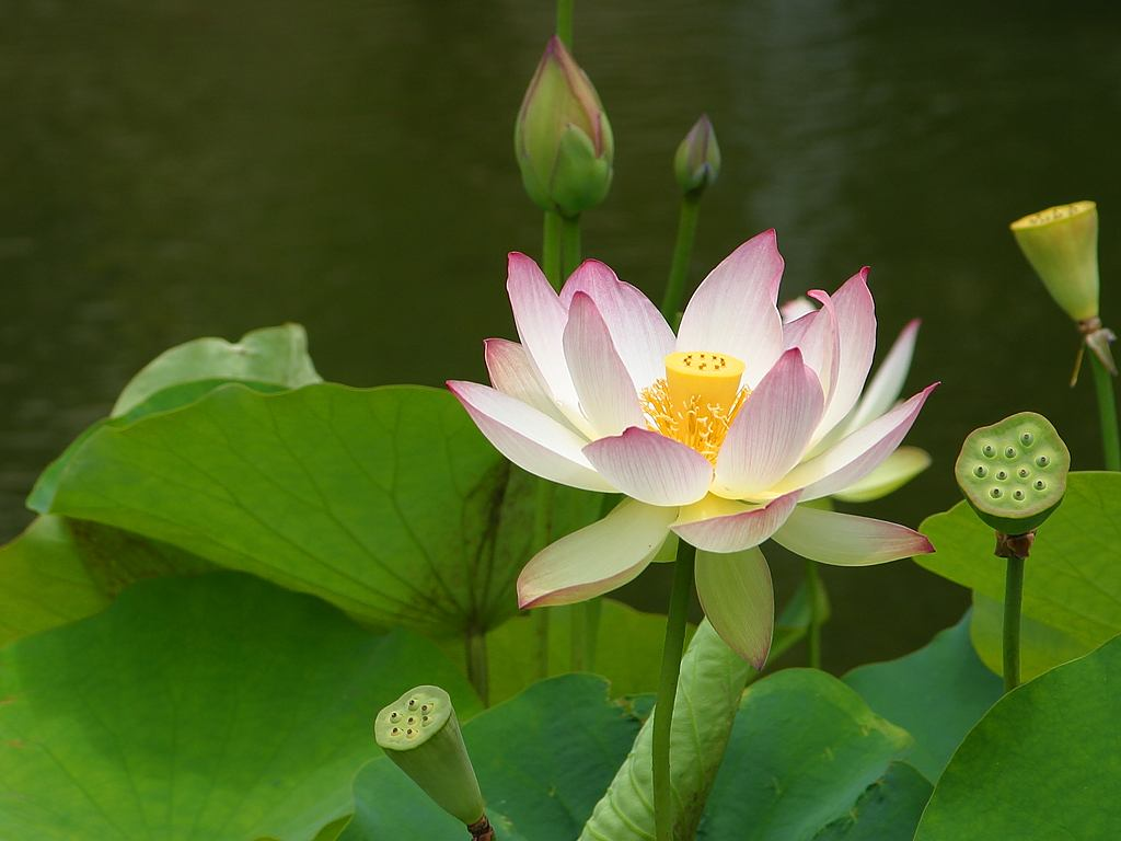 Lotus flower - Vietnam travel