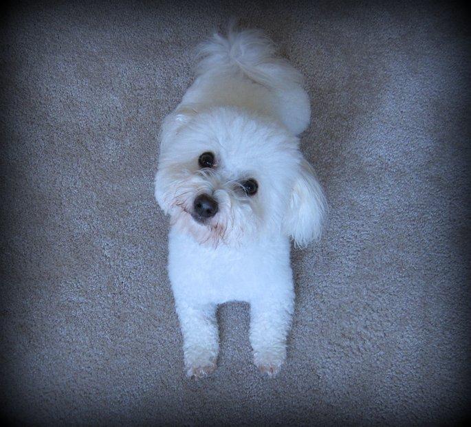 Coton De Tulear Puppy Cut high resolution widescreen