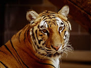 Animales salvajes. ¡Hola!, soy Pedro. Este tigre se llama Raúl. (animal )