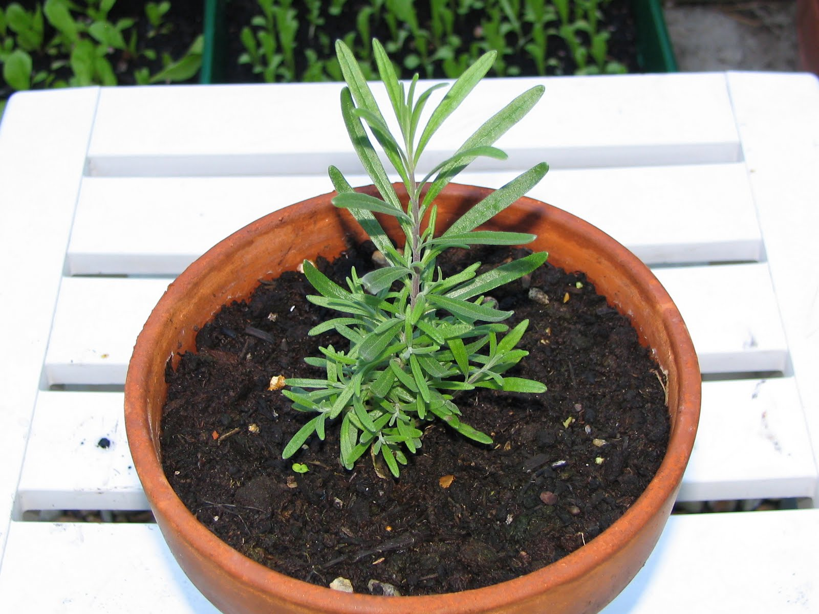how to grow lavender from seed in a pot