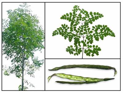 Scientific name: Moringa oleifera Lam.