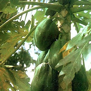 Scientific name: Carica papaya