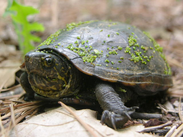 Pet Turtle Care: How to care mud turtle Pet Turtle Care