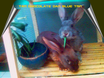 kelinci tan warna biru coklat