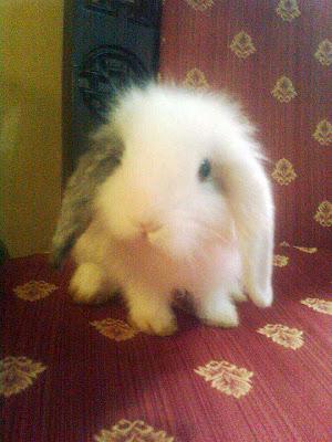 kelinci membeli kelinci cara memelihara kelinci cara memandikan