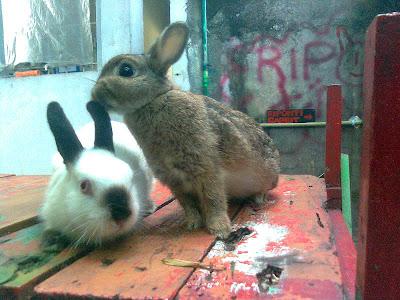 bisnis kelinci hias