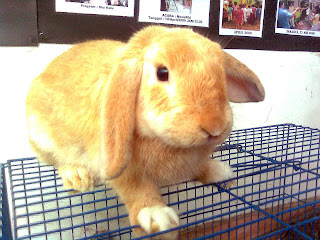 kelinci gold holland lop