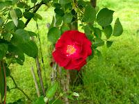 rose arkansas vibrant vivid red pink