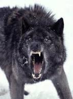 lobo macho alfa