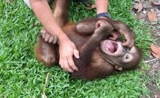 Una cría de mono se ríe igual que un niño si le hacen cosquillas, reír no es en absoluto exclusivo