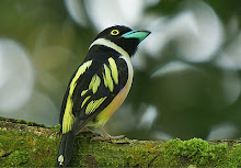 Black and yellow Broadbill_2011