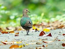 Emerald dove_2011