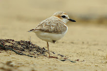 Malaysian Plover_2011