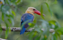 Stork-billed Kingfisher_2011