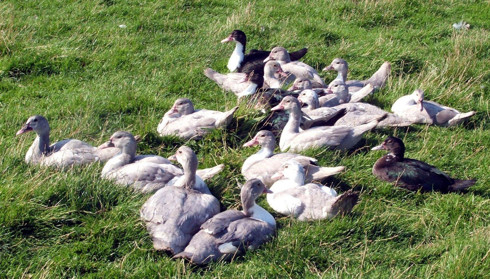 [ducklings-august-2008.jpg]
