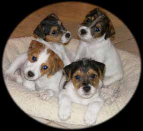 Adorable JRT pups!