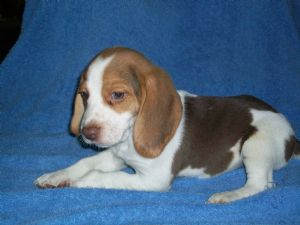 Beagle tricolor chocolate