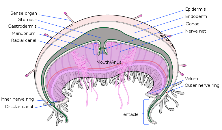 Cambodia Calling: Anatomy of a Jellyfish