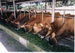 Makanan Tambahan Untuk Lembu