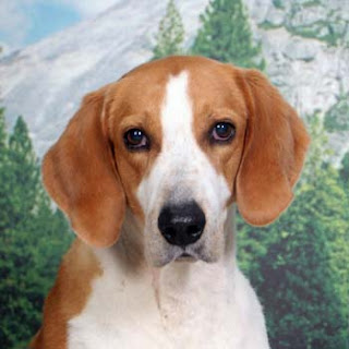 American Foxhound Face