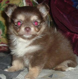 chihuahua Puppy Pic
