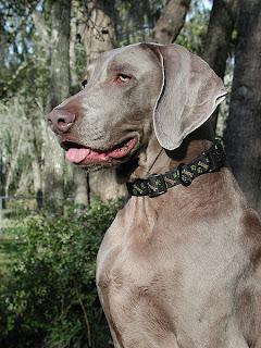 Weimereiner Dog Picture