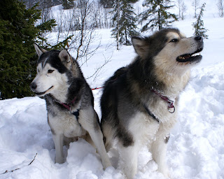 Alaskan Malamute Dog Pic