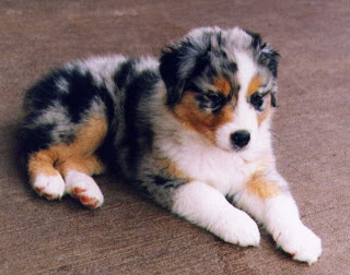 Australian Shepherd Cute Puppy