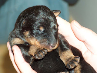 Beauceron Baby