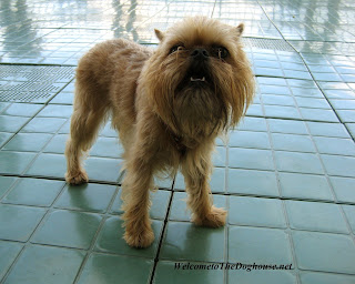 Brussels Griffon Dog Image
