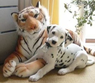 Dalmatian And Tiger Picture