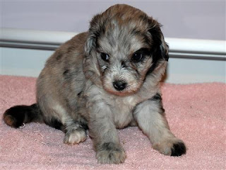 Aussiedoodle Puppies Picture