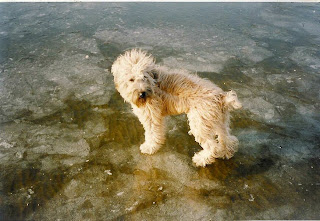 Wheaten Terrier Dog Picture