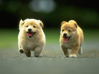 Kintamani Cute puppies
