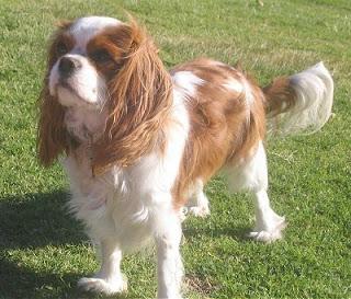 Cavalier King Charles Spaniel Dog<br />